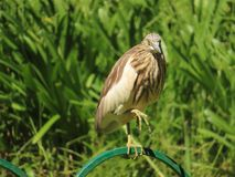 Indian Pond Heron balancing. The Indian pond heron or paddybird is a small heron. It is of Old World origins, breeding in southern Iran and east to Pakistan royalty free stock image