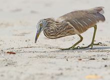 Indian pond heron catching a little crab on the beach. Royalty Free Stock Photography