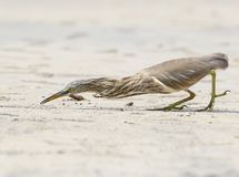 Indian pond heron hunting a little crab on the beach. Stock Images