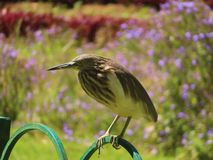 Indian Pond Heron on the fence. The Indian pond heron or paddybird is a small heron. It is of Old World origins, breeding in southern Iran and east to Pakistan stock image