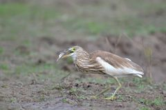 Indian Pond Heron with Fish Stock Images