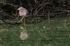 Indian Pond Heron hunting in a pond royalty free stock photography