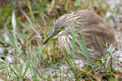 Indian Pond Heron in India Royalty Free Stock Image