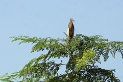 An Indian pond heron in the tree. The Indian pond heron or paddy bird is small heron. The scientific name of this bird is Ardeola grayii.This herons are found in royalty free stock images