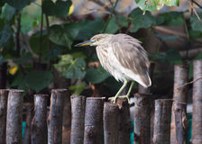 Indian Pond Heron or Paddybird Royalty Free Stock Photo