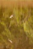 Indian Pond Heron or Paddybird (Ardeola grayii) Stock Photos