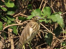 Indian Pond Heron. The Indian pond heron or paddybird Ardeola grayii is a small heron. It is of Old World origins, breeding in southern Iran and east to Pakistan royalty free stock photos