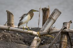 The Indian pond heron or paddybird Royalty Free Stock Image