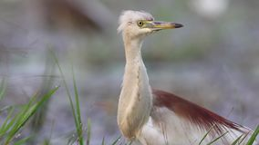 Indian pond heron stock video
