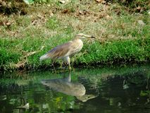 Indian Pond Heron with Reflection into water Stock Photo