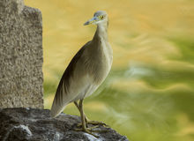 Indian pond heron Royalty Free Stock Images