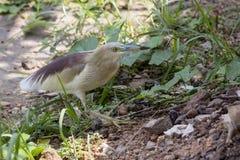 Indian pond heron Royalty Free Stock Photos