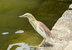 Indian pond heron Royalty Free Stock Image