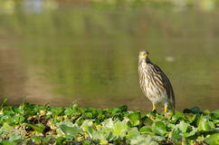 Indian pond heron is walking on the plant Stock Photos