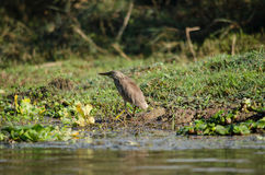 Indian pond heron is walking on the plant Stock Photo