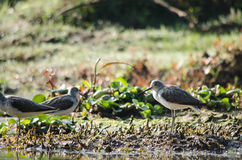 Indian pond heron is walking on the plant Royalty Free Stock Photo