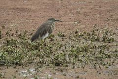 Indian pond heron in a winter dress that sits in the shallow wat Royalty Free Stock Photography