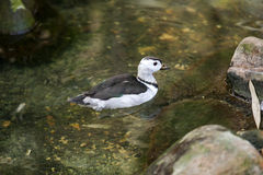 Indian Pygmy Goose (nettapus coromandelianus) Royalty Free Stock Photos
