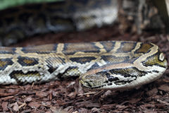 Indian python Stock Photo
