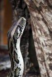 Indian python Stock Photos
