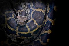 Indian Python ambush predators, remain motionless in a camouflag. Indian Python. Most members of this family are ambush predators, in that they typically remain Stock Image