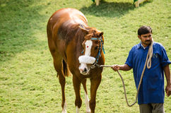 Indian Racehorse with Bindi. HYDERABAD, ANDHRA PRADESH, INDIA - JANUARY 6: A racehorse wearing a red bindi spot on its face is walked around by a groom to cool Royalty Free Stock Photo