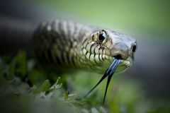 Indian Rat snake wild wallpaper royalty free stock photography