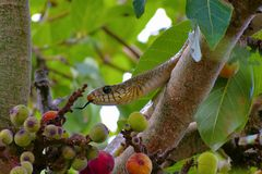 Indian rat snake, dhaman , Ptyas mucosa on fig tree, Pune, Maharashtra. Indian rat snake, dhaman , Ptyas mucosa on fig tree at Pune, Maharashtra Royalty Free Stock Image
