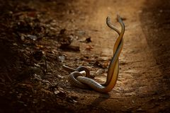 Indian rat snake, Ptyas mucosa. Two non-poisonous Indian snakes entwined in love dance on dusty road of Ranthambore national park, Royalty Free Stock Photography