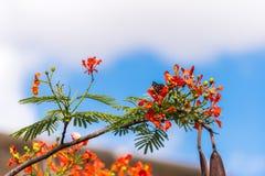 Indian red acacia, Puttaparthi, Andhra Pradesh, India. �Close-up. Stock Images
