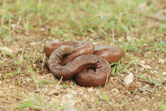 Indian red sand boa snake Stock Photography