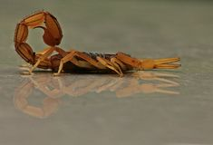 Indian Red Scorpion. And its reflection on floor Stock Image