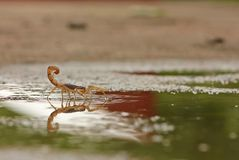 Indian Red Scorpion in water. Indian Red Scorpion in monsoon, walking in water Royalty Free Stock Photo