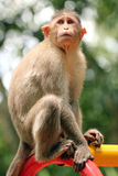 Indian rhesus macaque monkey (macaca mulatta) in a park Stock Photos