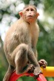 Indian rhesus macaque monkey (macaca mulatta) in a park Stock Photos