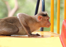 Indian rhesus macaque monkey (macaca mulatta) playing in a park Royalty Free Stock Image