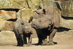Indian rhino Stock Images