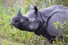 Indian Rhino Stock Photo