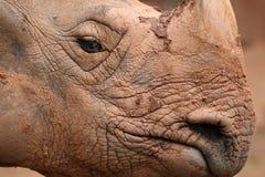 Indian Rhino Stock Photo