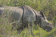Indian Rhino with bird in the Grassland Royalty Free Stock Photography
