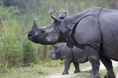 Indian Rhino and Calf Royalty Free Stock Image