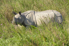 Indian Rhino in the Grasslands Stock Photography