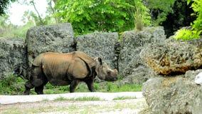 Indian rhino Stock Image