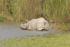 Indian Rhino Heading into the River Royalty Free Stock Photo