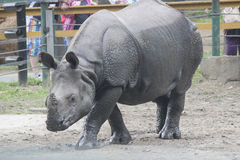 Indian rhino Royalty Free Stock Image