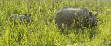 Indian Rhino mother and calf Royalty Free Stock Photo
