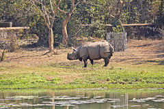 Indian rhino. In Nandankanan zoo Stock Photo