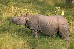 Indian rhino in Nepal royalty free stock photos
