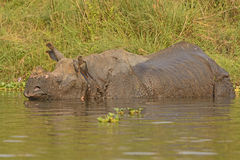 Indian Rhino in a River Royalty Free Stock Images