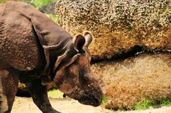 Indian rhinoceros walking Stock Photos